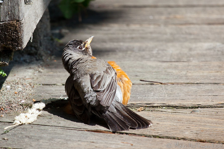 An American Robin sunbathing on the boardwalk at Nisqually Wildlife Refuge near Olympia, Washington.