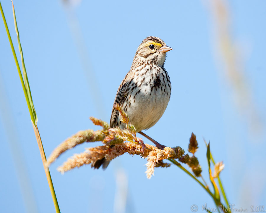 Savannah Sparrow, Redmond, Washington. Photo by Marc Hoffman.