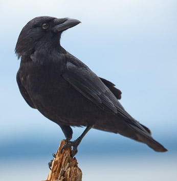 American Crow. Click for larger image.
