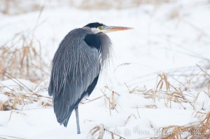Great Blue Heron stands in the snow at Marymoor Park (Redmond, Washington, U.S.A.)