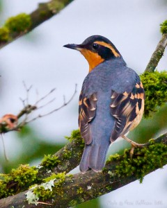 Kirkland Varied Thrush