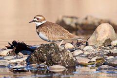 One of 8 Killdeer at the Montlake Fill.