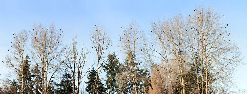 Over 200 Double-crested Cormorants