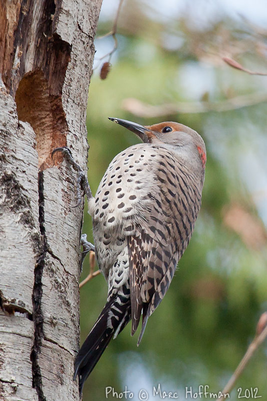 Red-shafter Flicker