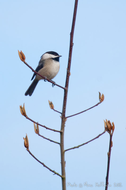 Black-capped Chickadees live in the Pacific Northwest United States year-round. Photo by Marc Hoffman.